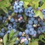 How to Freeze Blueberries + A Delicious Blueberry Muffin Recipe